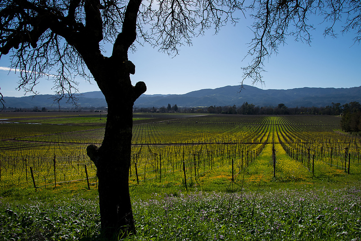 Napa Valley Vineyard with Mustard Flowers
