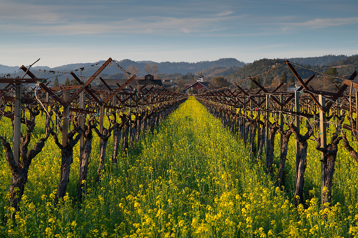 Napa Vineyard Row with Mustard Flowers